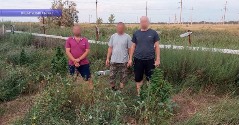 Саратовцев задержали за плантацию конопли высаженную в камышах