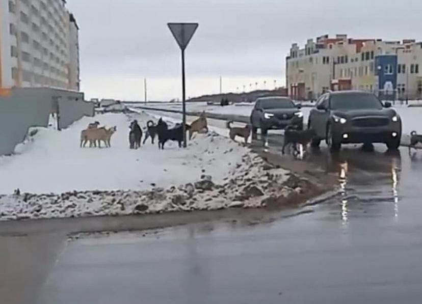 Стаю агрессивных собак в Солнечном пообещали отловить
